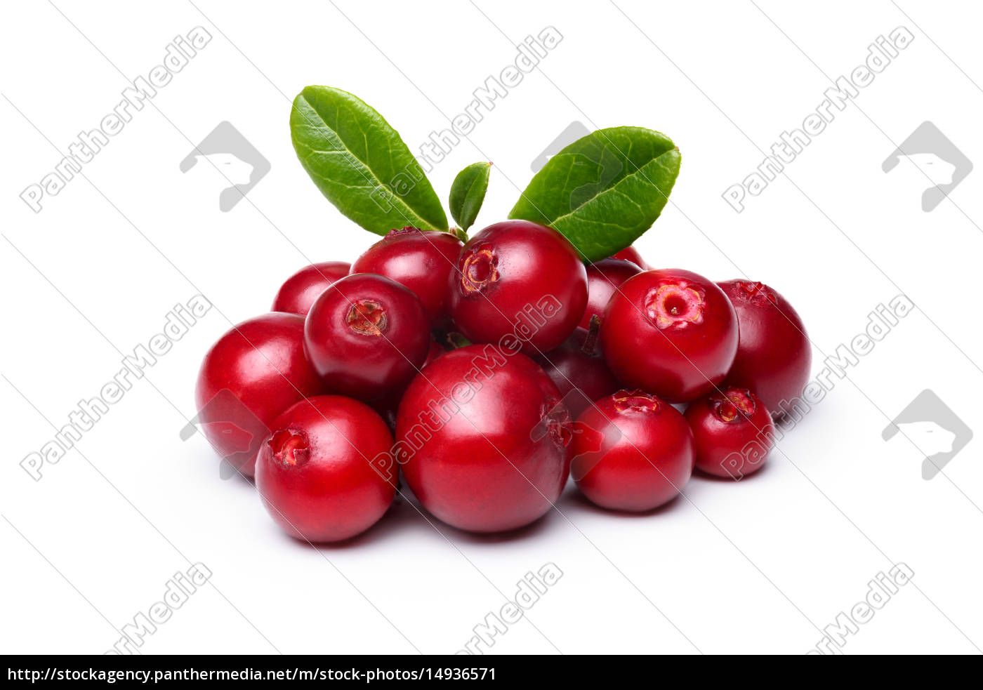 cowberry, (foxberry, lingonberry) - 14936571