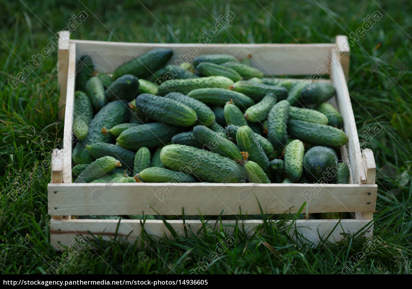 cucumbers, harvest - 14936605