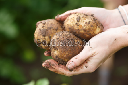 potato, harvesting., female, hands, holding, potatoes - 14936321