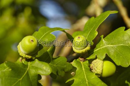 luneburg heath acorns at an