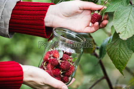raspberry, picking - 14940239