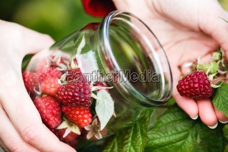 raspberry, picking - 14940507