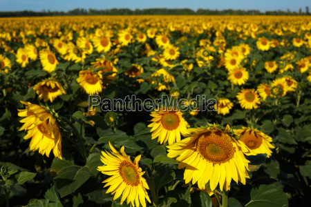 sunflower, field - 14940659