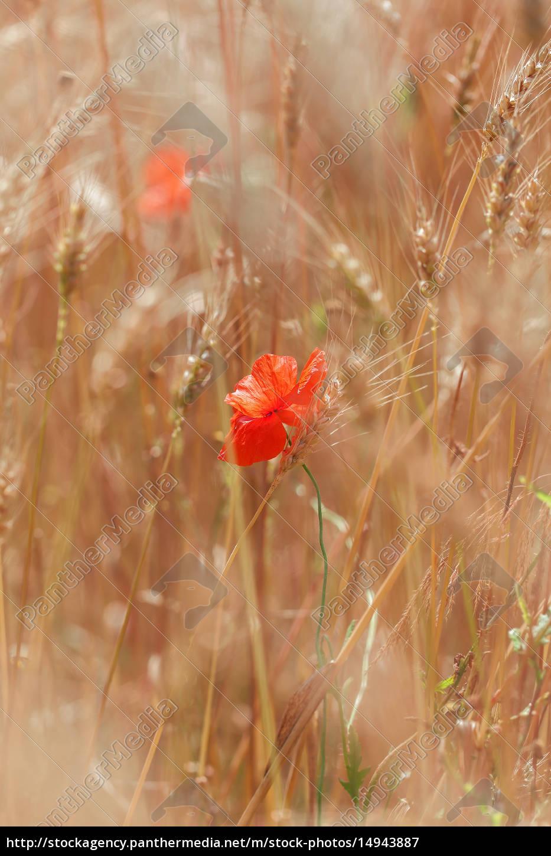 poppy, -, cereal, field - 14943887