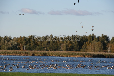 wild geese gather