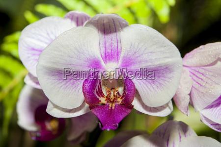 phalaenopsis white orchid