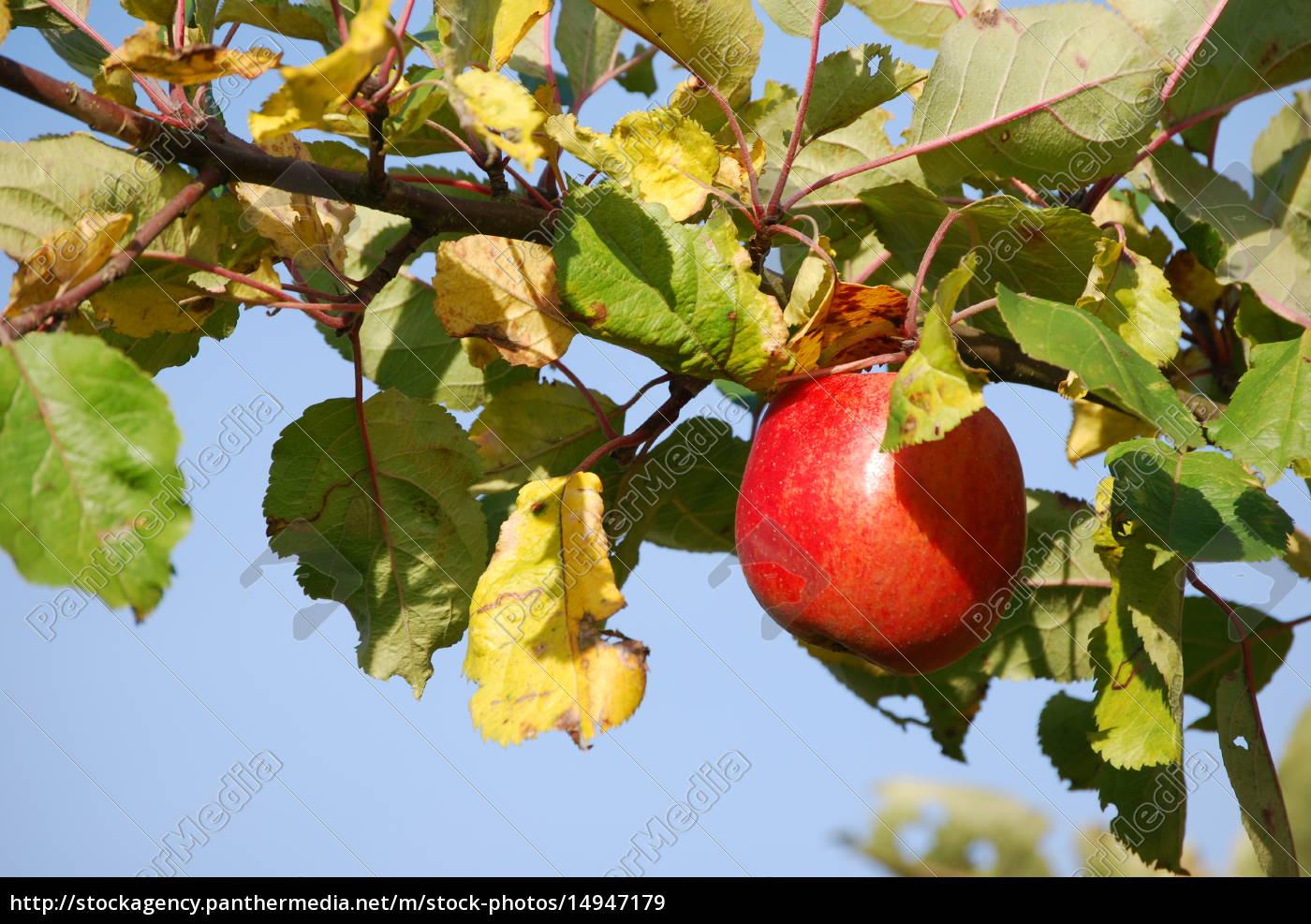 apple, on, branch - 14947179