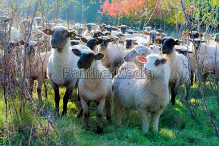 sheep in the autumn