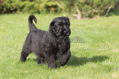 the puppy of giant black schnauzer