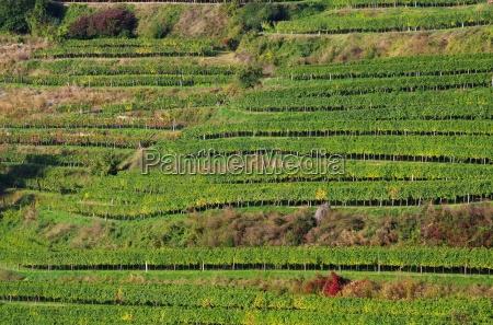 of the wachau vineyard