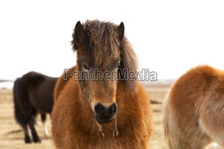 portrait of an icelandic pony with