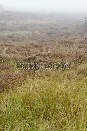 amrum germany heathland at fog