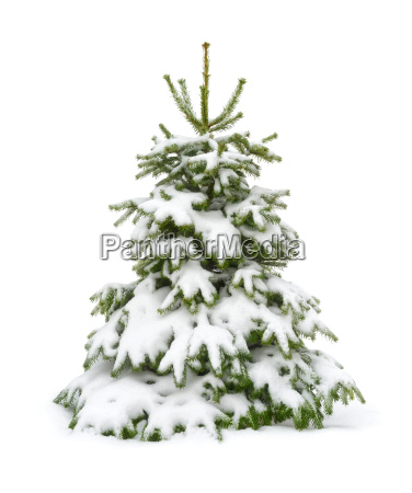 snowy fir tree on pure white