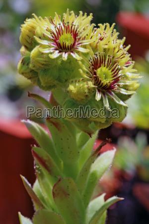 macro cobweb houseleek sempervivum arachnoideum