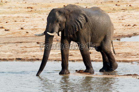 african elephants drinking at a muddy