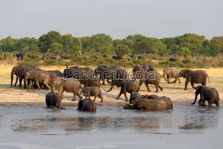herd of african elephants drinking at