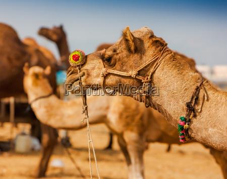 decorated camel at the pushkar fair