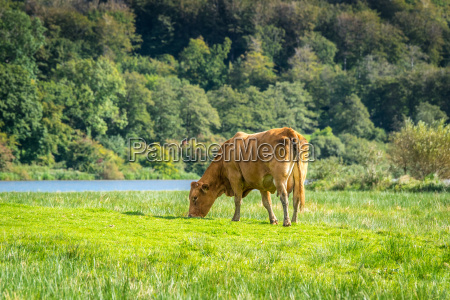 cow grazing in the nature