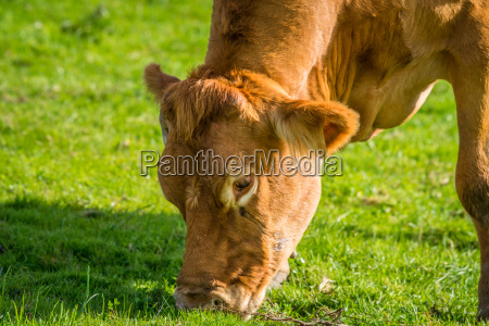 close up of a grazing cow