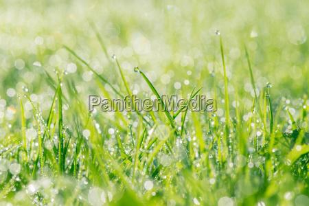 fresh grass with dew