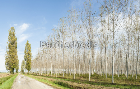 poplars grove and country road