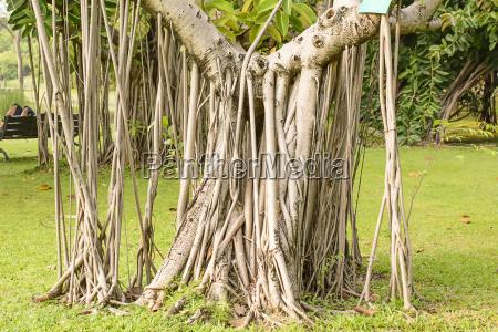 tree many tree roots