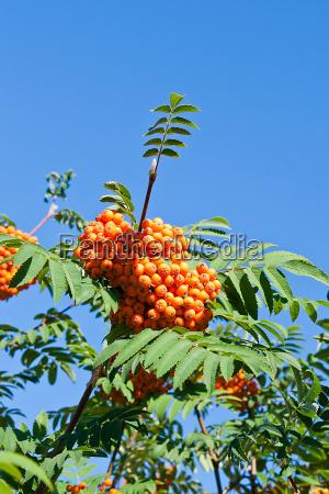 rowan berries on a mountain ash