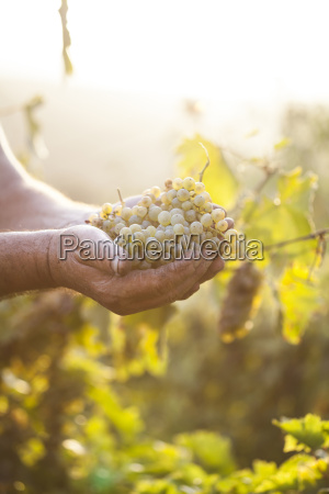farmers hands holding harvested grapes