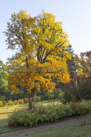autumnal oak in the park