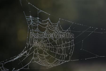 dew laden cobweb