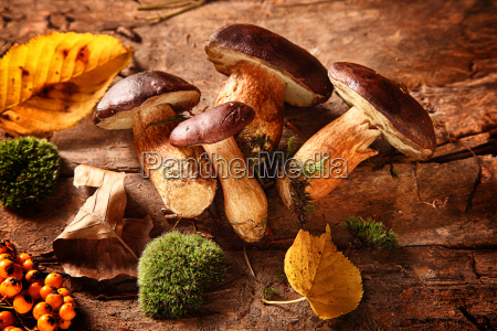 healthy autumn harvest of fungi and