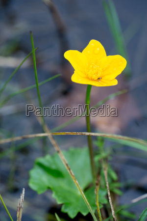 marigold yellow in water