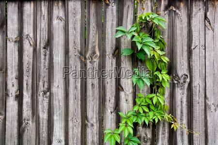 blad vild vilde vildt vinhost hosten