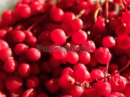 red ripe schisandra