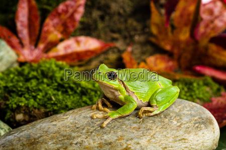european green tree frog lurking for