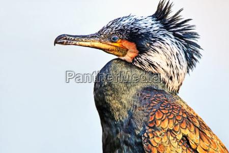 kopfstudie cormorant phalacrocorax carbo
