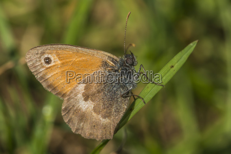 small meadow bird coenonympha pamphilus