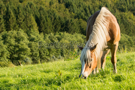 haflinger horse grazes in a beautiful