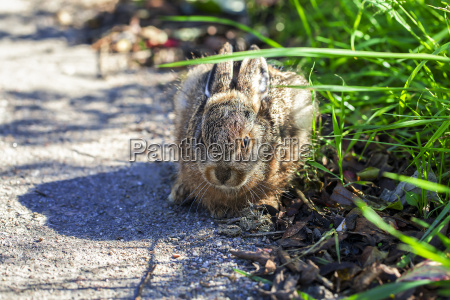 rabbit young animal on the