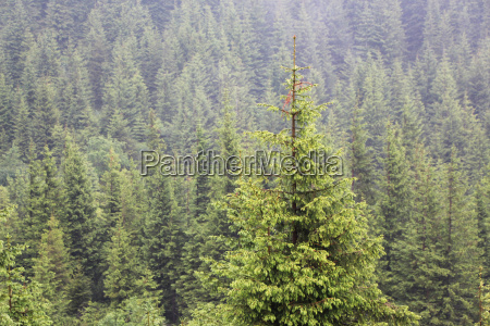 carpathian spruce