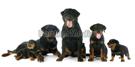 puppies and adults rottweiler