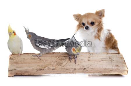 cockatiel and chihuahua
