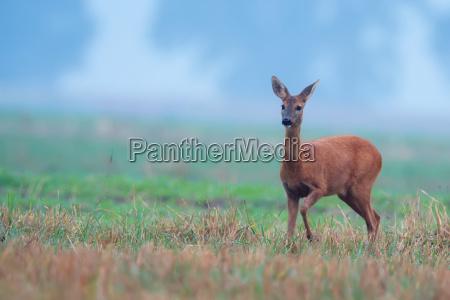 roe deer in the morning mist