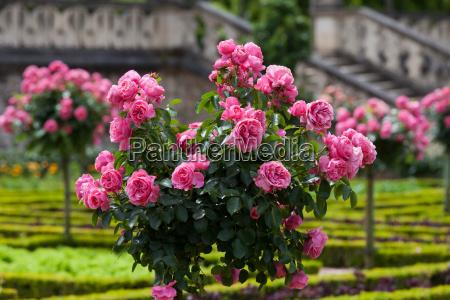 bunch of pink roses in garden
