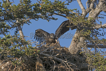 fledgling eagle testing its wings