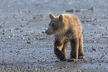 young grizzly bear on a coastal