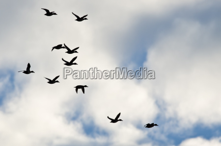 flock of ducks silhouetted in a
