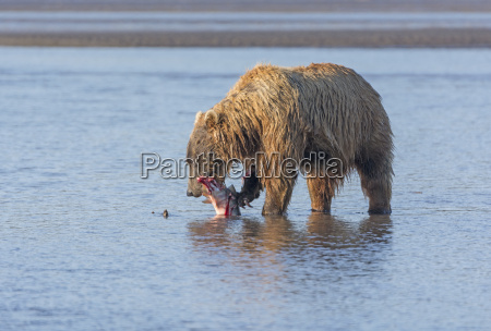 bear eating a salmon it caught