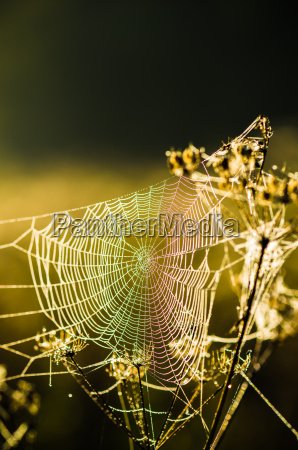 drops of dew on a web
