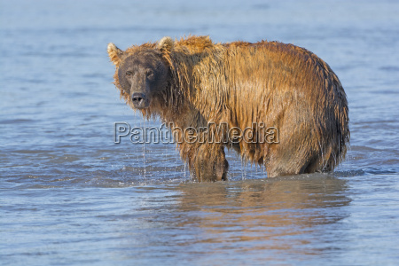 grizzly dripping from fishing in the